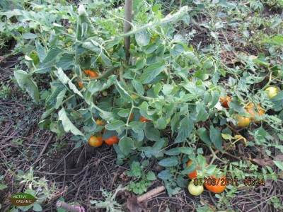 ActiveOrganic Riscova tomatoes